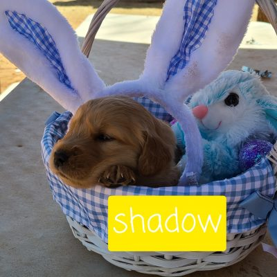 Shadow - male ACA Golden Retriever puppy for sale in Eunice, New Mexico