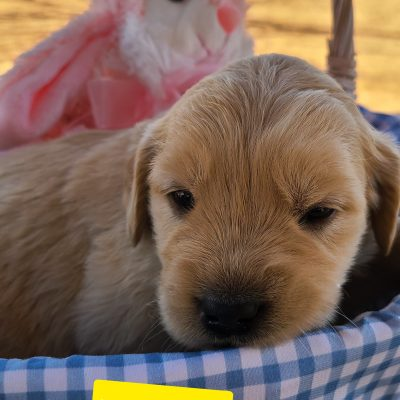 Baby - puppie ACA Golden Retriever female for sale in Eunice, New Mexico
