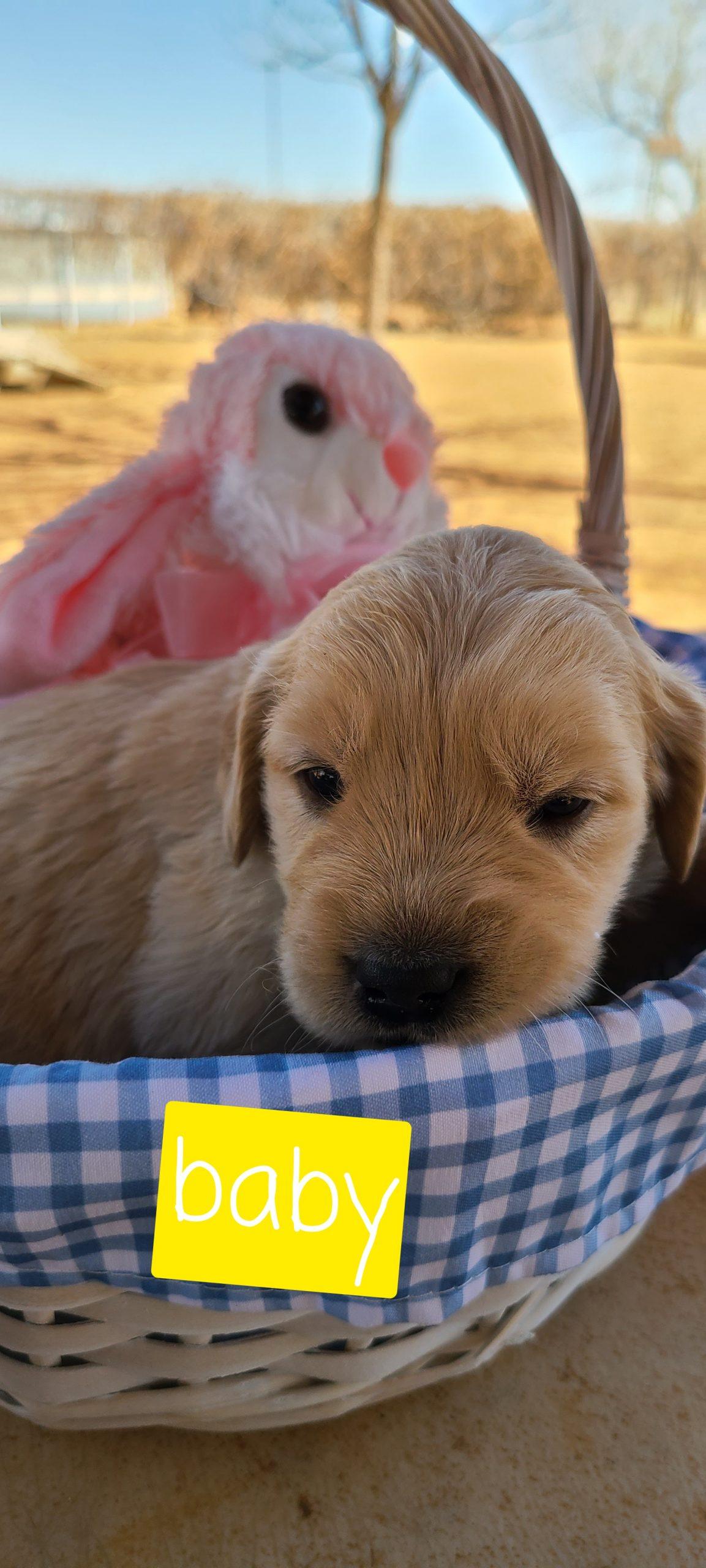 Baby - puppie ACA Golden Retriever female for sale in Eunice, New Mexico