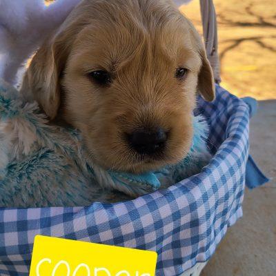 Cooper - ACA Golden Retriever male pupper for sale near Eunice, New Mexico