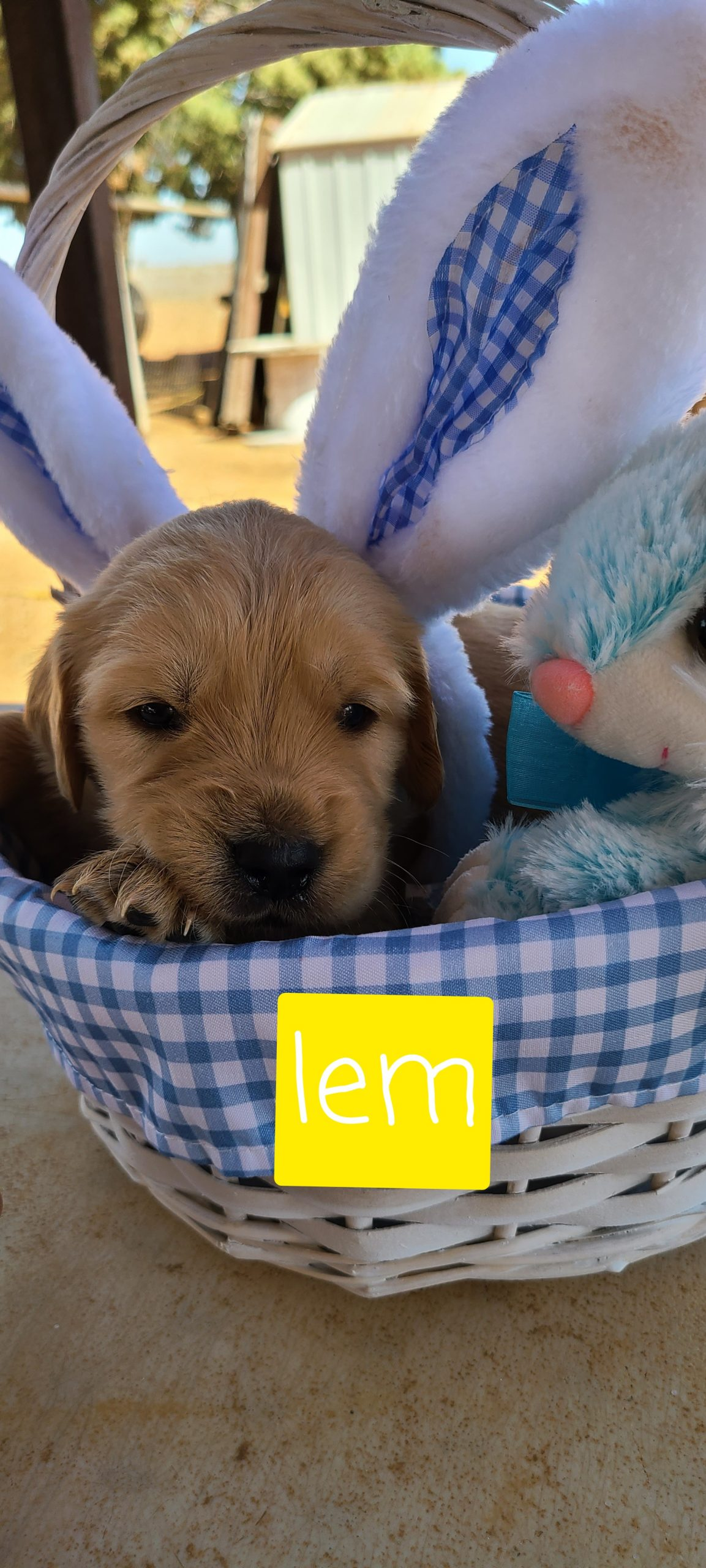 Lem - ACA Golden Retriever male pup for sale at Eunice, New Mexico