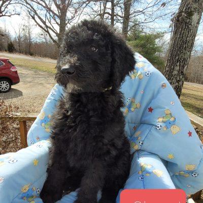 Clover - CKC F1b Labradoodle puppy for sale in Alton, Missouri