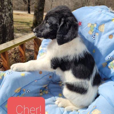 Cher - CKC F1b Labradoodle puppy for sale in Alton, Missouri
