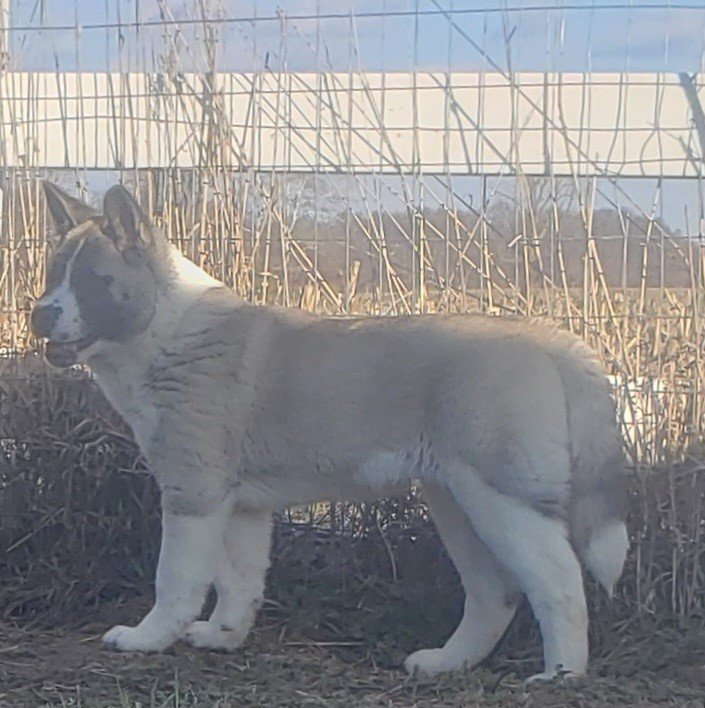 American Akita - male American Akita pup for sale near Union City, Ohio