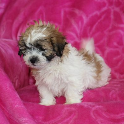 Teddy - Shichon puppy for sale