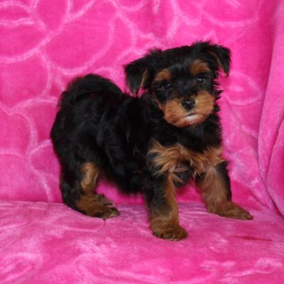 Sadie - Yorkiepoo female puppy for sale at Ohio