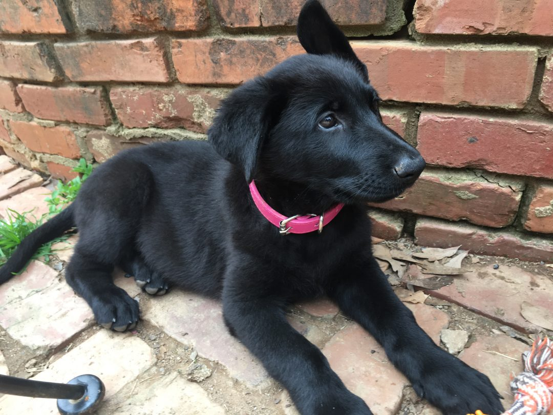Belle - AKC black German Shepherd female puppy for sale in Spartanburg, South Carolina