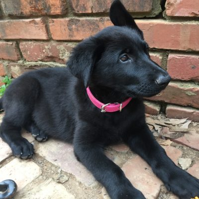 Belle - AKC black German Shepherd female puppy for sale in Spartanburg, South Carolina