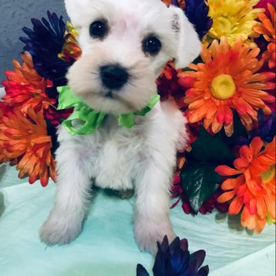 Beverly - AKC Minature Schnauzer puppy for sale in Houston, Texas