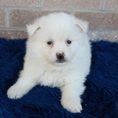 Chester - American Eskimo male pupper for sale at Spencerville, Indiana