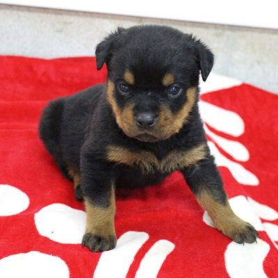 Liam - male AKC Rottweiler puppy for sale in Shipshewana, Indiana