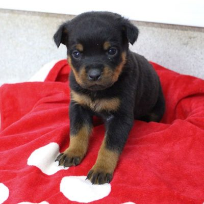 Lance - AKC Rottweiler male pup for sale at Shipshewana, Indiana