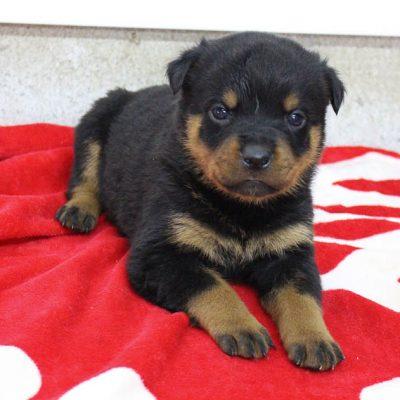 Lane - AKC Rottweiler male pupper for sale near Shipshewana, Indiana