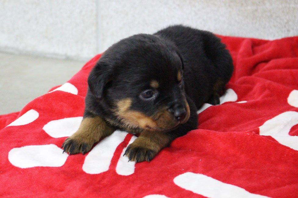 Lizzie - AKC Rottweiler female doggie for sale at Shipshewana, Indiana