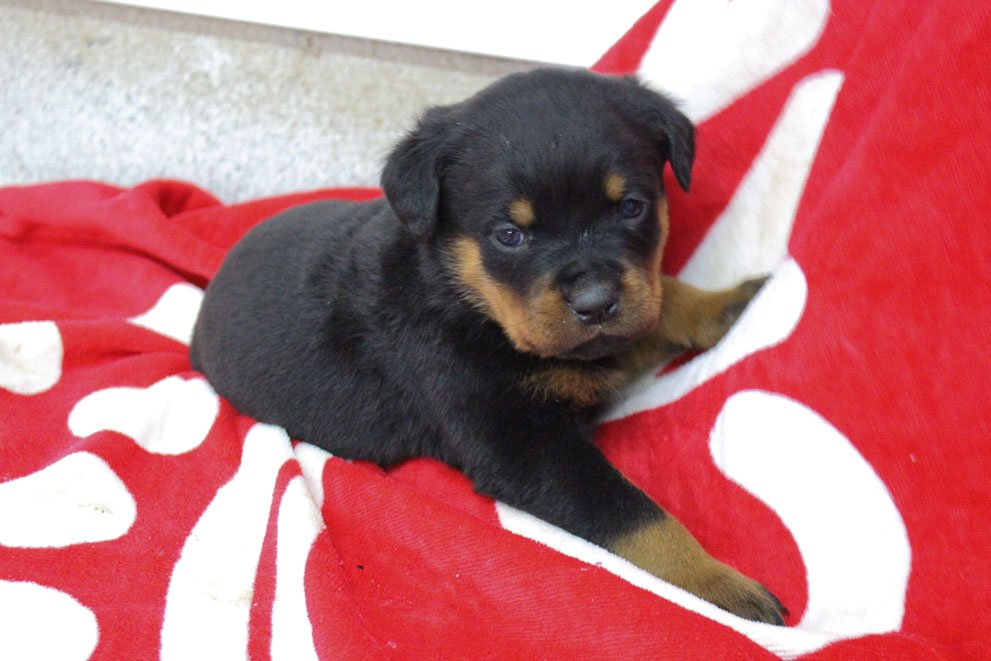 Lacy - female AKC Rottweiler puppy for sale near Shipshewana, Indiana