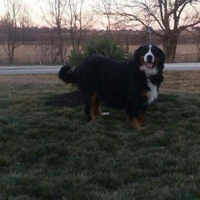 AKC Bernese Mountain pups for sale at Grabill, Indiana