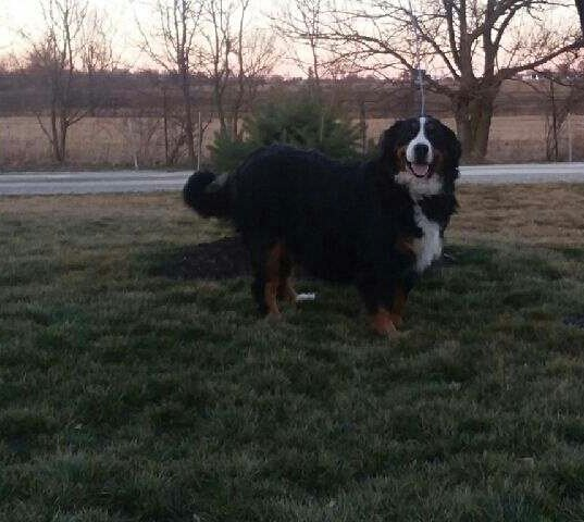 AKC Bernese Mountain puppies for sale in Grabill, Indiana