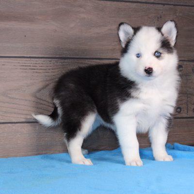 Molly - Kolu Husky puppy for sale in Nappanee, Indiana