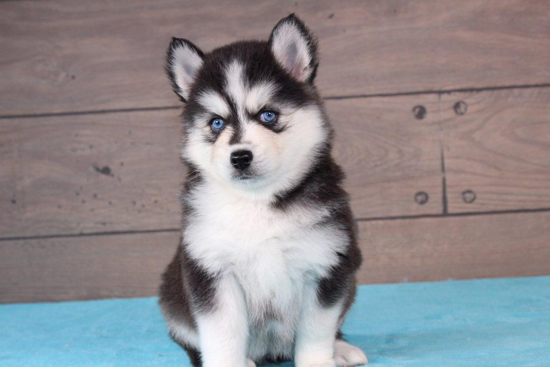 Nikita - female pup for sale at Nappanee, Indiana