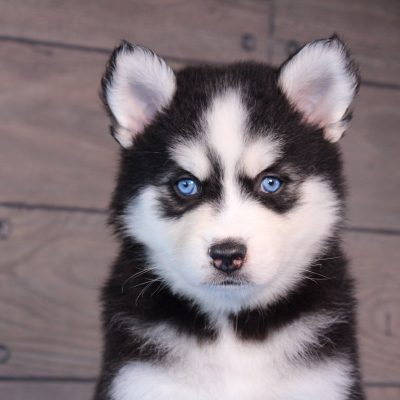 Rocco - pup Pomsky male for sale in Nappanee, Indiana