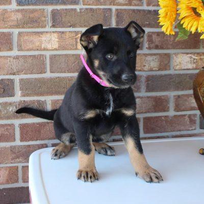 Beauty - female German Shepherd puppy for sale near Grabill, Indiana
