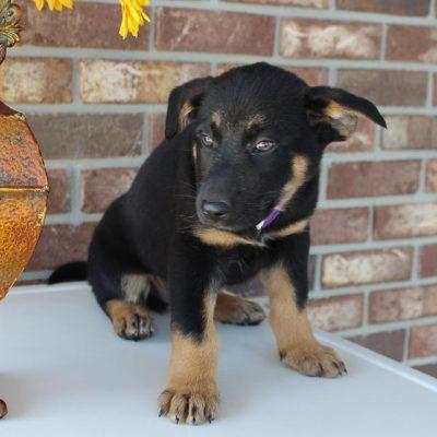 Buddy - German Shepherd male doggie for sale in Grabill, Indiana