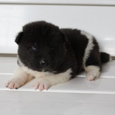 Milo - puppy AKC Akita male for sale at New Haven, Indiana