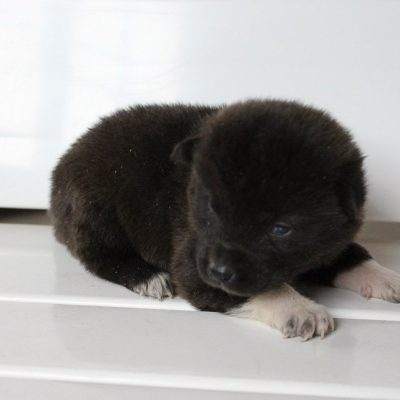 Mia - AKC Akita male pup for sale near New Haven, Indiana