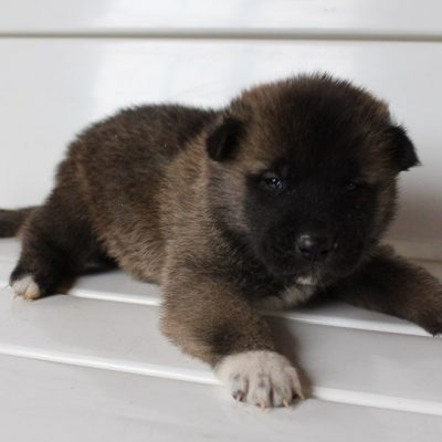 Bruno - AKC Akita male pupper for sale in New Haven, Indiana