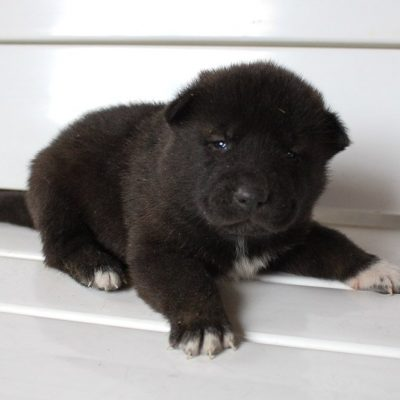 Ellie - female AKC Akita pupper for sale at New Haven, Indiana