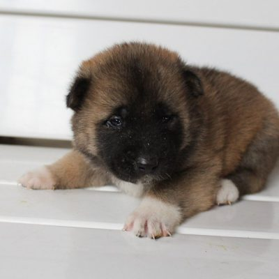 Ollie - AKC Akita male puppie for sale near New Haven, Indiana