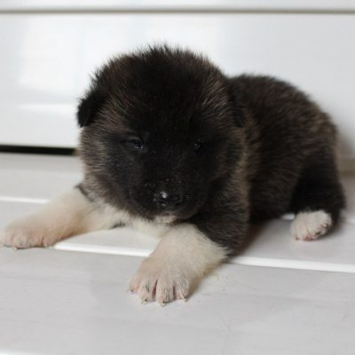 Layla - puppy AKC Akita female for sale at New Haven, Indiana