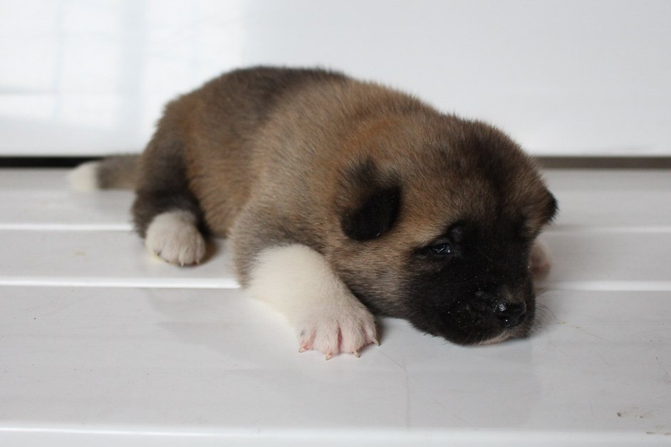 Leo - AKC Akita male pup for sale near New Haven, Indiana