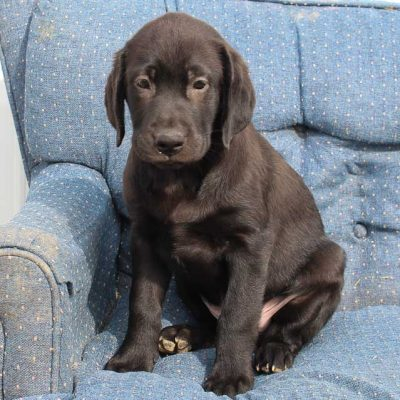 Jack - AKC Labrador Retriever male doggie for sale in Spencerville, Indiana