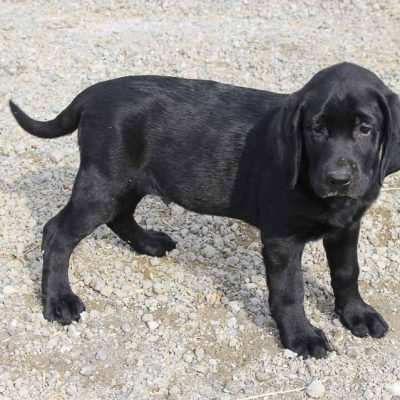 Apple - AKC Labrador Retriever male puppy for sale at Spencerville, Indiana