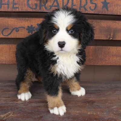 Master - AKC Bernese Mountain male puppie for sale near Spencerville, Indiana
