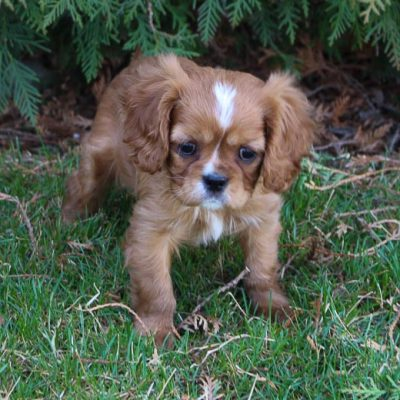 Jaxon - AKC Cavalier King Charles Spaniel pup for sale at Middlebury, Indiana