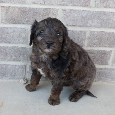 Maverick - Mini Goldendoodle male pup for sale in Woodburn, Indiana