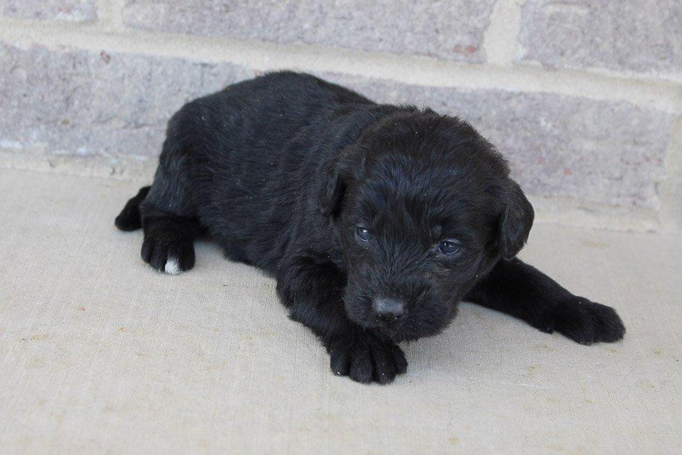Konni - Labradoodle female puppie for sale at Oxford, Pennsylvania