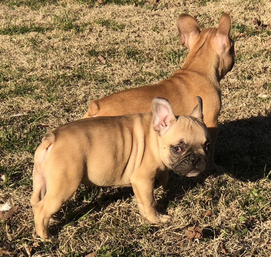 Fawnboy2 - AKC male French Bulldog puppy for sale at Cushing, Oklahoma