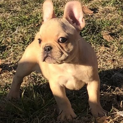 Fawnboy1 - AKC male French Bulldog doggie for sale in Cushing, Oklahoma