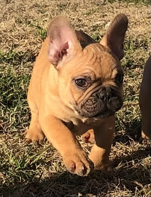 Fawnboy3 - male AKC French Bulldog pup for sale at Cushing, Oklahoma
