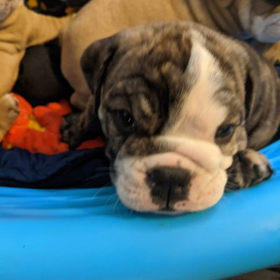 Atticus - English Bulldog