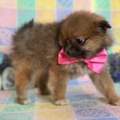 Chloe - Pomeranian pupper for sale at Landenberg, Pennsylvania