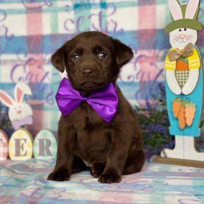 Harley - puppie Labrador Retriever female for sale in Delta, Pennsylvania