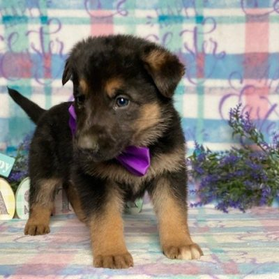 Princess - female AKC German Shepherd puppie for sale in Peachbottom, Pennsylvania