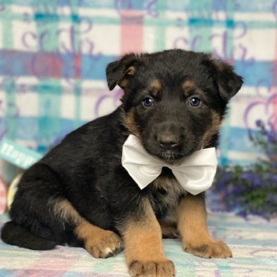 Earl - puppy AKC German Shepherd for sale in Peachbottom, Pennsylvania