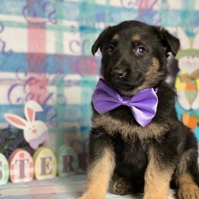 Nelly - female AKC German Shepherd puppie for sale at Peachbottom, Pennsylvania