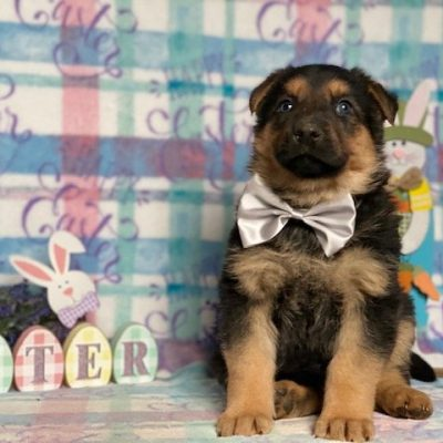Dodger - male AKC German Shepherd pup for sale at Peachbottom, Pennsylvania