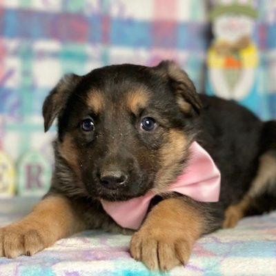 Ladie - AKC German Shepherd puppy for sale in Peachbottom, Pennsylvania